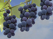 Blue Grapes Photos - Grapes on Vine by Mary  Sablovs