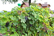 Grapevines Posters - Grapes Ready For Harvest On The Vine Poster by PAMELA Smale Williams