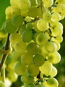 Wine Making Posters - Grapes Poster by Tilen Hrovatic