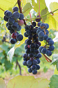 Blue Grapes Photos - Grapes Under Leaves by Barbara McMahon