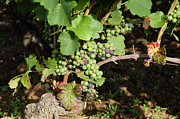 White Grape Photo Metal Prints - Grapevine. Burgundy. France. Europe Metal Print by Bernard Jaubert
