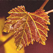 Grape Leaf Prints - Grapevine in Fall Print by Author and Photographer Laura Wrede