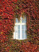 Grapevine Red Leaf Photo Posters - Grapevine window Poster by Roman Milert