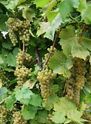 Grapevines Photos - Grapevines No3 by Mia Capretta