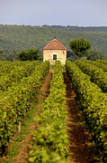 Hut Prints - Grapevines. Premier cru vineyard between Pernand Vergelesses and Savigny les Beaune. Burgundy. Franc Print by Bernard Jaubert