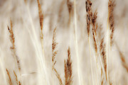Metal Art Photography Digital Art Posters - Grass and Reeds - Outer Banks North Carolina Poster by Dan Carmichael