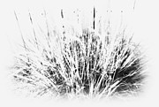 Board Fence Prints - Grass Bw Print by Barbara Henry