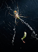William Voon Metal Prints - Grass Cross Spider With Its Prey Metal Print by William Voon