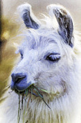 Llama Digital Art Metal Prints - Grass Eating Llama Metal Print by David Allen Pierson