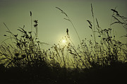 Camera Pyrography Posters - Grasses in sunset Poster by Peter v Quenter
