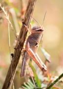 Grasshopper In The Marsh Print by Carol Groenen