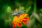 Gardens And Flowers - Grasshopper on Marigold by Crystal Wightman