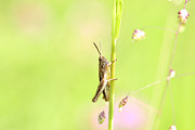 Grasshopper  Print by Tommy Hammarsten