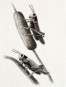 Jeanette K - Grasshoppers on Cattails