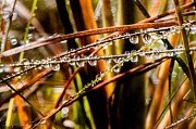 Droplets Photos - Grassy Droplets  by Hastings Franks