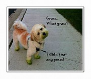 Cute Havanese Prints - Grassy Puppy - Dog - Curiosity - Eating Grass Print by Barbara Griffin
