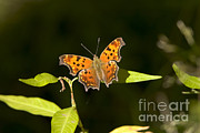 Gregory K Scott - Gray Comma Butterfly
