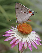 Strawflower Photos - Gray Hairstreak and Straw Flower by David and Carol Kelly