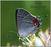 April Wietrecki - Gray Hairstreak