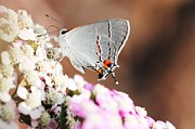 Lorri Crossno Metal Prints - Gray Hairstreak Butterfly Metal Print by Lorri Crossno