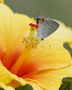 Blooms  Butterflies Framed Prints - Gray Hairstreak Butterfly on Yellow Hibiscus Framed Print by Kathy Clark