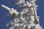 Washington - Gray Jay 3 by Sean Griffin