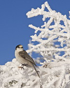 Washington - Gray Jay 4 by Sean Griffin