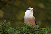 Shelley Myke Prints - Gray Jay at Algonquin Provincial Park Canada Print by Inspired Nature Photography By Shelley Myke