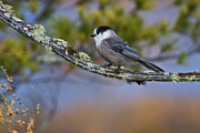 Bird On Tree Prints - Gray Jay Print by Gary Hall
