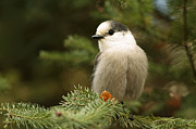 Shelley Myke Framed Prints - Gray Jay on an Autumn Day Framed Print by Inspired Nature Photography By Shelley Myke