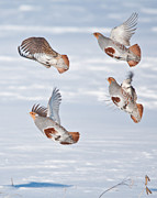 Daniel Forget - Gray Partridge