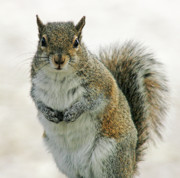 Cindi Ressler Prints - Gray Squirrel Print by Cindi Ressler
