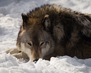 Timber Wolf Photos - Gray Wolf in Snow by Stephanie McDowell