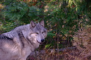 Controversial Metal Prints - Gray Wolf  Metal Print by Jeff  Swan