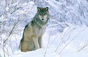Jeffrey Lepore - Gray Wolf
