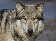 Wolf Photos - Gray Wolf Portrait by Martin Belan