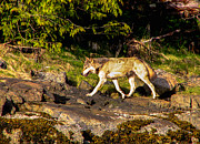 Barks Prints - Gray Wolf Print by Robert Bales