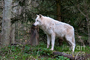 Gray Wolf White Morph Print by Mark Newman