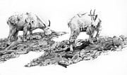 Mountain Goat Drawings - Grazing by Aaron Spong