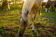 Grazing Horse Posters - Grazing at Sunset Poster by David Morefield