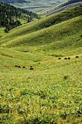 American Bison Prints - Grazing Bison on Grass Hills Print by Paul W Sharpe Aka Wizard of Wonders