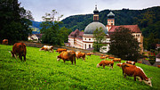 Nick  Biemans - Grazing cows in front of a historic monastery