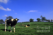 Bill Bachmann - Grazing Cows, Ireland