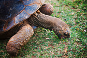 Jenny Rainbow - Grazing Giant Turtle in the Pamplemousse Botanical Garden. Mauritius