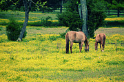 Dan Carmichael Acrylic Prints - Grazing on Sunshine - Horses in a Pasture I Acrylic Print by Dan Carmichael