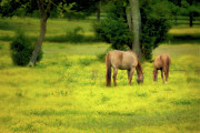 Dan Carmichael Acrylic Prints - Grazing on Sunshine - Horses in a Pasture II Acrylic Print by Dan Carmichael