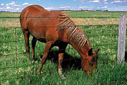 Prairies Painting Posters - Grazing Poster by Terry Reynoldson