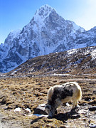 Base Camp. Rock Prints - Grazing Yak Print by Tim Hester