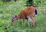 Grazing Young Buck Print by Mike Dawson