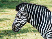 Asia Photos - Grazing Zebra by Nila Newsom